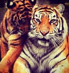 Tygrysy mrrr samiec i samica