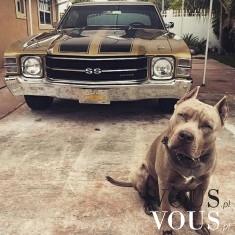 Duży brązowy piesek. Groźny pies pilnujący samochodu.