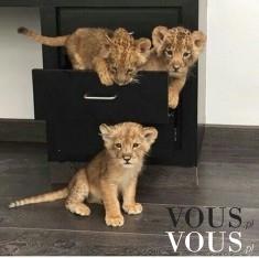 Słodkie małe udomowione lwiątka