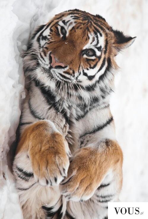 Tygrysek Niewinny Kotek śliczny Duży Kotek ⋆ Vous Pl