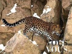 Dziki gepard, dziki kot