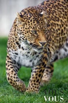 Polujący gepard