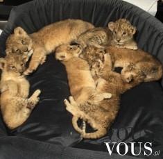 Małe gepardy na kanapie, udomowione dzikie koty