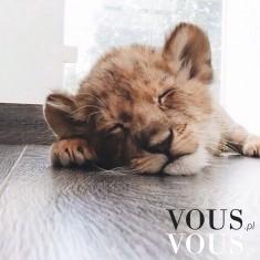 Śpiący lew