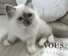 Biały kotek , bardzo puchaty i przytulaśny