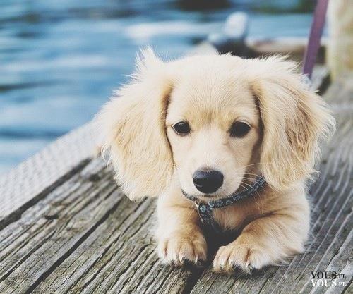 mały piesek, jaka to rasa, jakiego psa macie