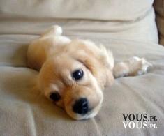 mały piesek na łóżku, szczenię