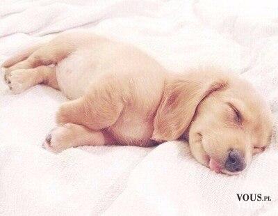 Słodki szczeniaczek podczas snu. Psia drzemka.