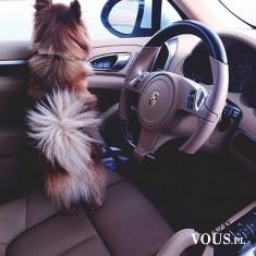 luksusowy samochód, piesek w samochodzie