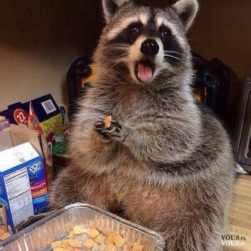 śmieszny szop pracz, szop pracz jedzący chipsy