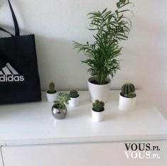 kaktusy, zielone rośliny