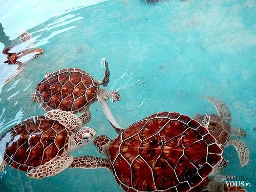 Żółwie wodne. Duże, pływające żółwie.