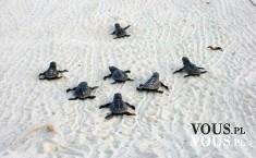 małe żółwie na plaży
