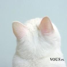 puszysty biały kotek