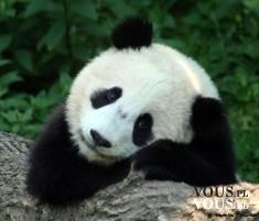 panda, jak chronić pandy