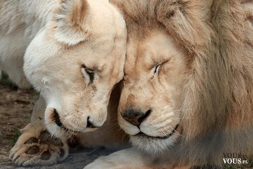 Dzikie zwierzęta. Kochające się zwierzaki.