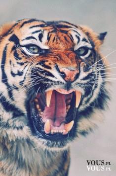 rozdrażniony tygrys
