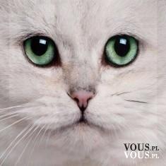 śliczny kotek biały z zielonymi oczkami, mordka kotka,