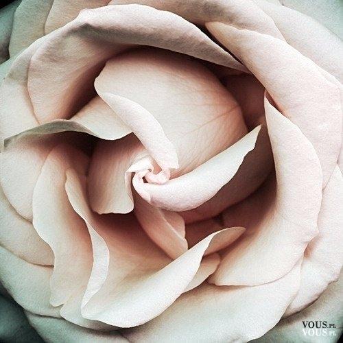 Delikatna i pachnąca róża- kwiat miłości