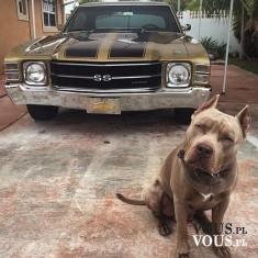 Pitbull i stare Camaro SS