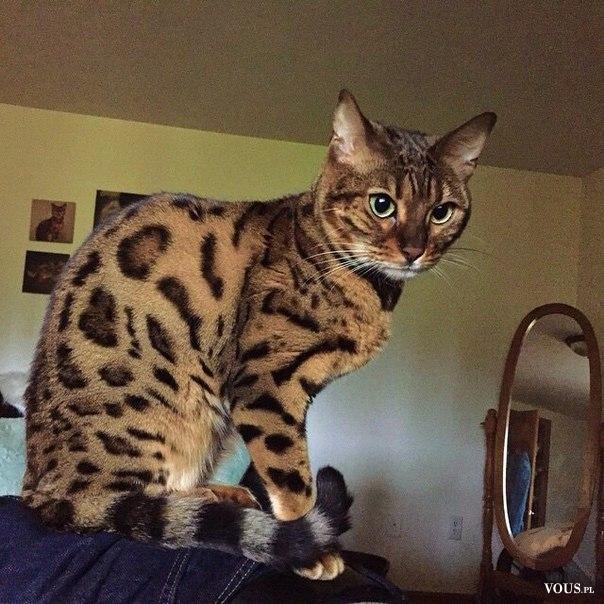 Kot Wyglądający Jak Lampart Kot Bengalski Rasa Kota Uzyskana