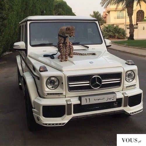 Arabskie wakacje, terenowe białe auto i duży kotek na smyczy