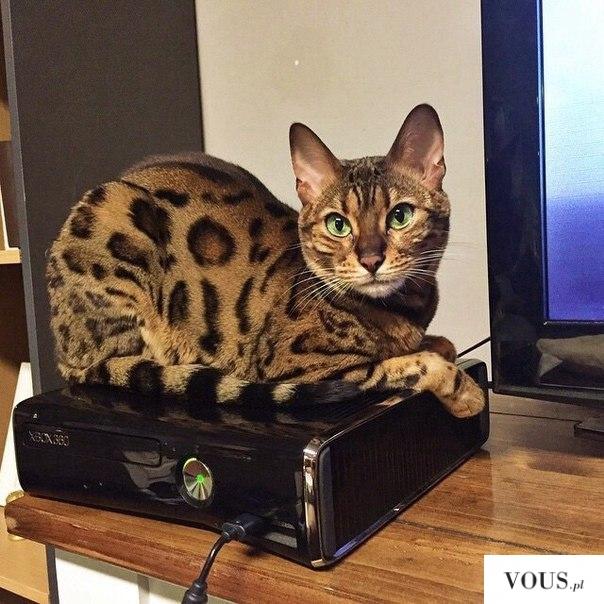Rasowy kot bengalski. gdzie jest Hodowla rasowych kotów bengalskich?