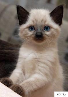 Ecri kotek, z brązowymi skarpetkami, brązowe uszka