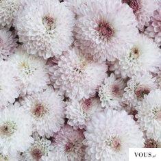 przepiękne biało różowe dalie