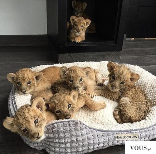 małe słodkie lwiątka