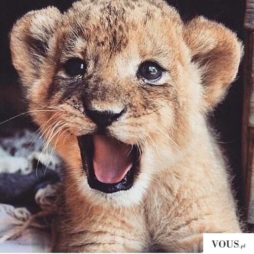 małe lwiątko