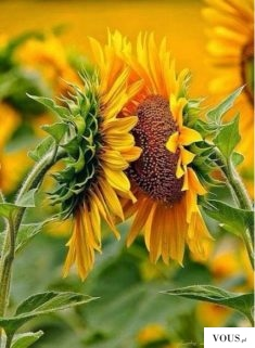 sunflowers , flower ,