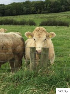 South African scientists create world's first IVF buffalo / South African scientists have produc ...