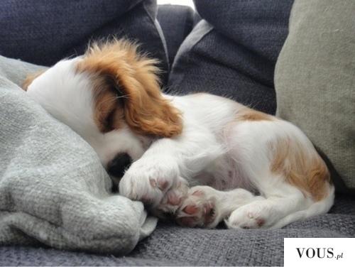 mały śpiący słodki piesek
