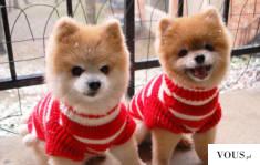 Słodkie małe pieski w sweterkach