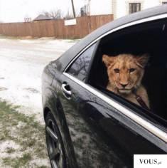 lew w samochodzie
