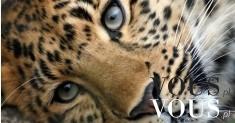Piękne oczy dzikiego kota