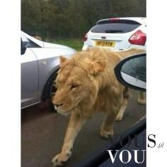 Dziki lew na ulicy
