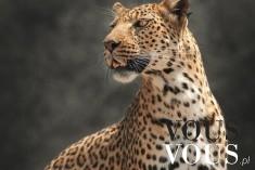 Dziki kot gepard