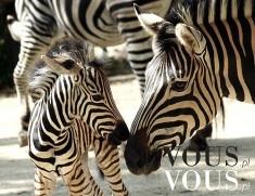 Trzy słodkie zebry, mała zebra z rodzicami
