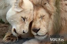 miłość wśród zwierząt, lwy, przytulone zwierzęta, dzikie koty