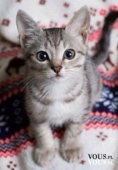 koci wzrok, kotek, kot