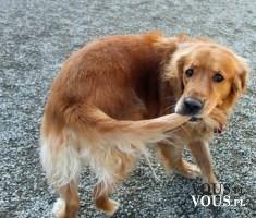 czy psy gonią za własnym ogonem ?