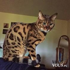 Kot wyglądający jak lampart. Kot bengalski – rasa kota, uzyskana jako hybryda międzygatunkowa.
