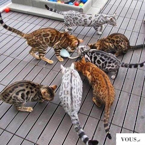 Koty bengalskie, czarne, szare bure i rude. Gdzie kupić bengalskiego kota?
