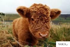 why cow is called mother in india / Kamadhenu (Sanskrit: कामधेनु, [kaːməˈd̪ʱeːnʊ], Kāmadhenu), a ...
