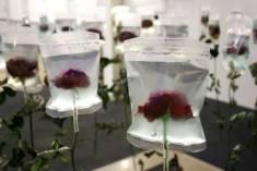 kwiaty zamrożone w kostkach lodu