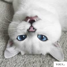 Biały kotek z niebieskimi oczami