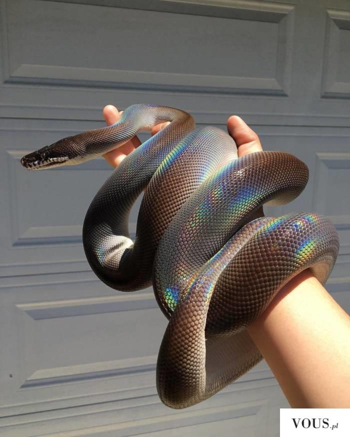 tęczowy wąż