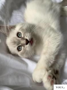 biały kotek z niebieskimi oczkami